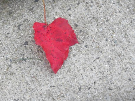We don't get many red leaves, so I take the pictures even if they're on the ground